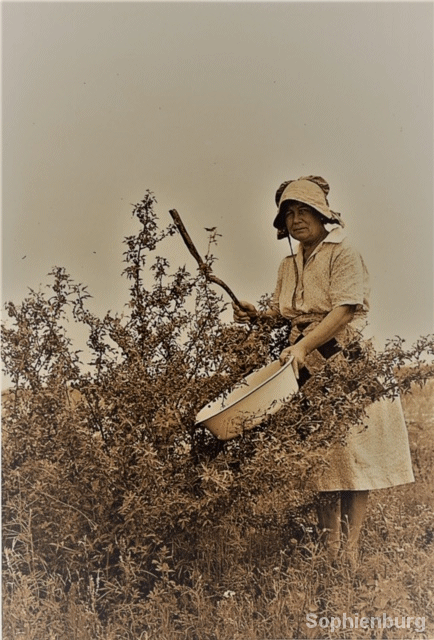 Woman, possibly Agnes Hubertus, harvesting agarita berries. (P0908-94A)